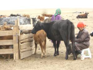 遊牧民の家畜の乳しぼり